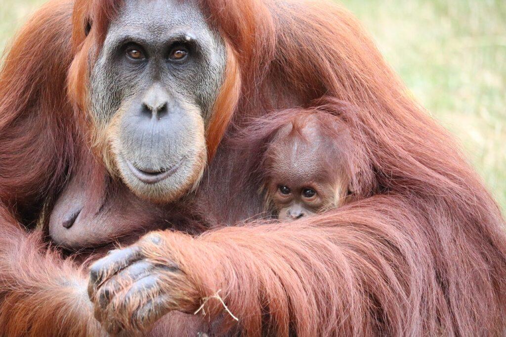 primate, monkey, zoo